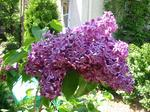 Every year when the lilacs bloom I just love the smell. My lilac bushes are only 2 years old, but this one puts out the most succulent, beautiful blooms ever. They're a darker purple than my other bushes.